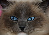 The blue eyes are a trait of the Ragdoll breed. So is the temperament to sit still for this photo.